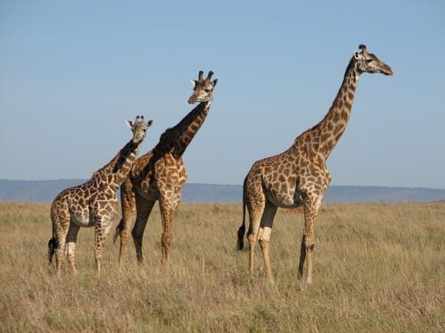 Girafe CNV