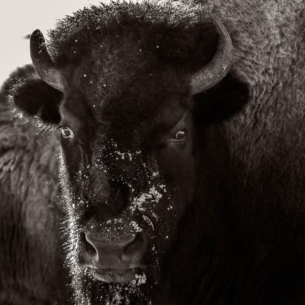 POTD: Bison #6