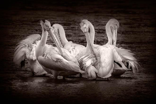 POTD: Pelicans #1