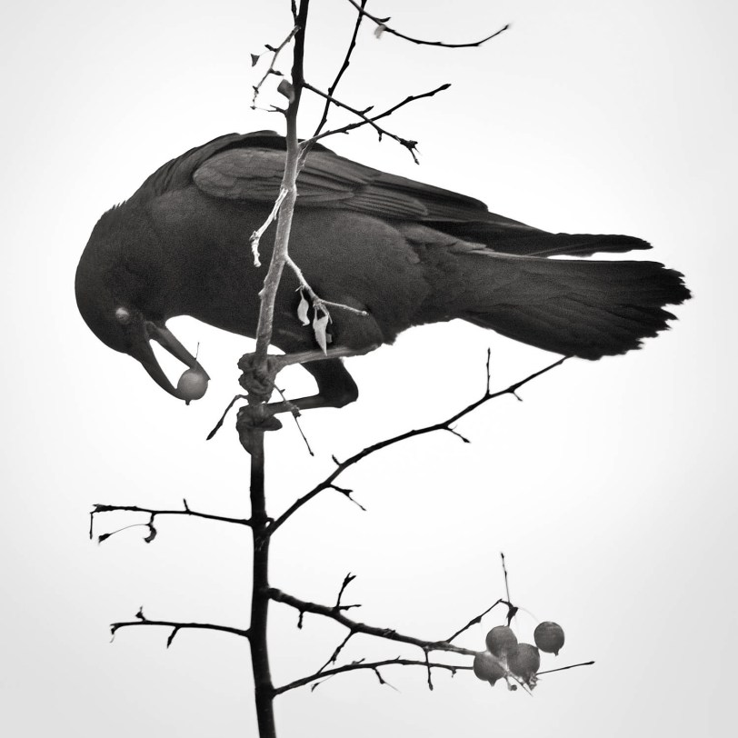 Crow With Berries