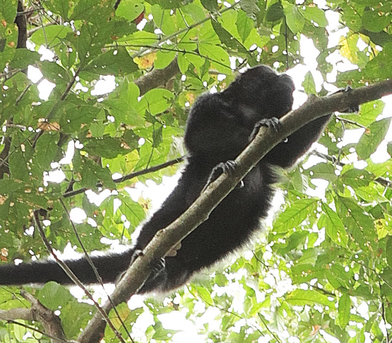 Belize Jungle & Nature Monkey Tours