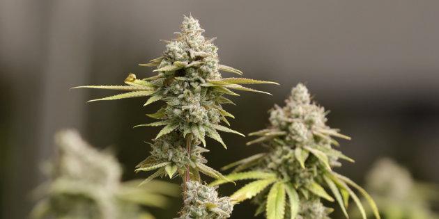 La OMS solicita a la ONU eliminar el cannabis de la lista de drogas peligrosas