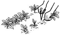 repiquer - la semence bio