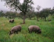 Resultado de imagen de cerdos asilvestrados serrania de ronda