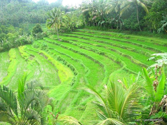 terraced rice fields - Bali