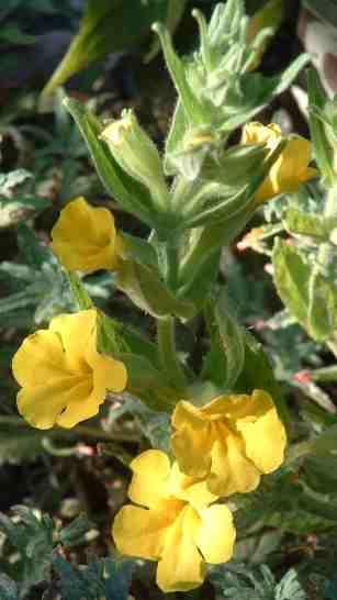Diplacus clevelandii tolerates full sun,and part sun.