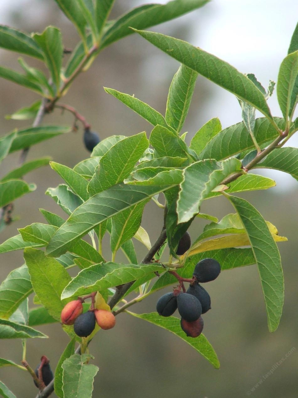 Osmaronia Cerasiformis Oso Berry