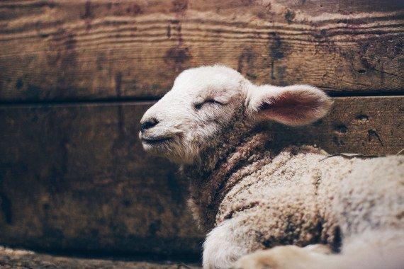 la pecorella è in posizione