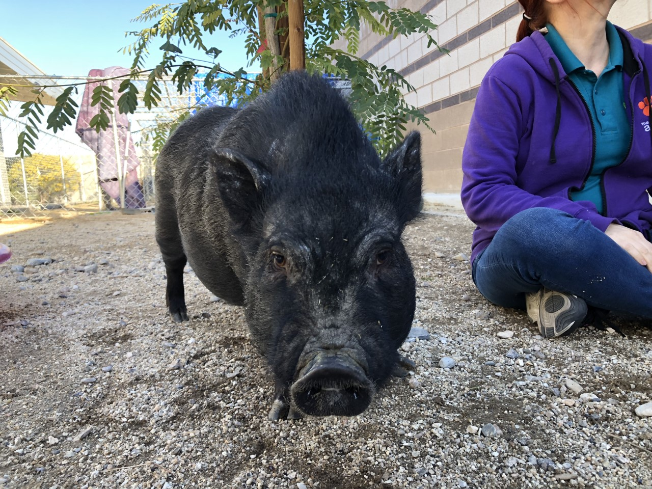 pot_belly_pigs_up_for_adoption_2_1551167030879.jpg