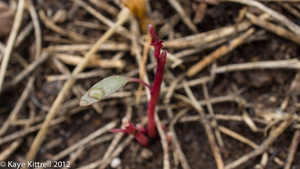 What's Eating my Amaranth? - Shoot with one leaf