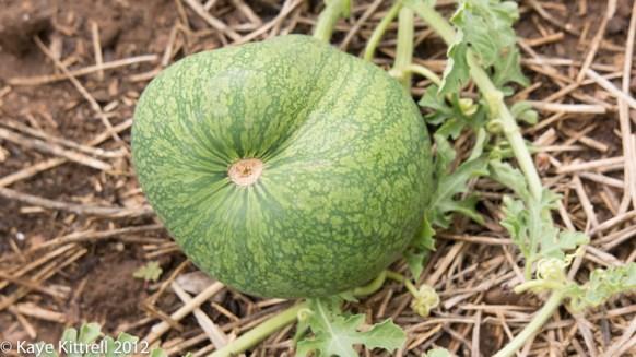 Watermelons, watering & bugs-misshapen