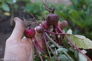 About the Radishes…