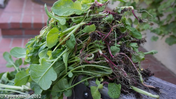 Growing Radishes 101 - pulled radish leaves