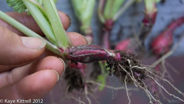 Growing Radishes 101 - split radish