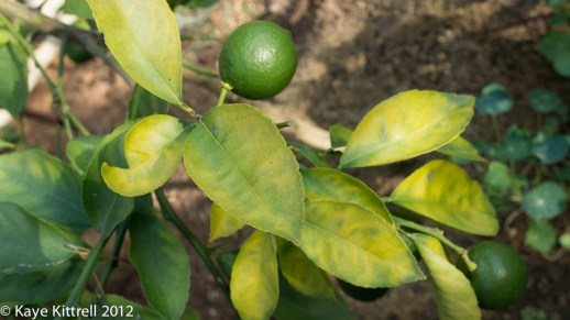 My Little Lemon Tree-yellow leaves