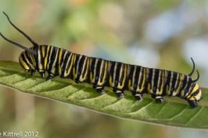 Monarch Caterpillar Action