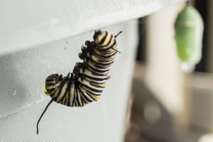 How Do They Know? Mysteries of Caterpillars