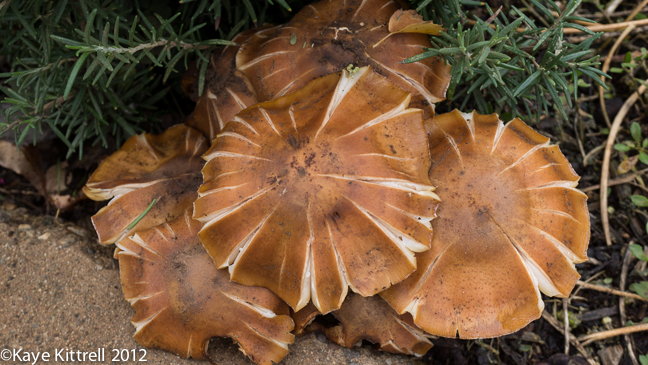 Large Brown Pale-Gilled Mushroom Cluster by Kaye Kittrell