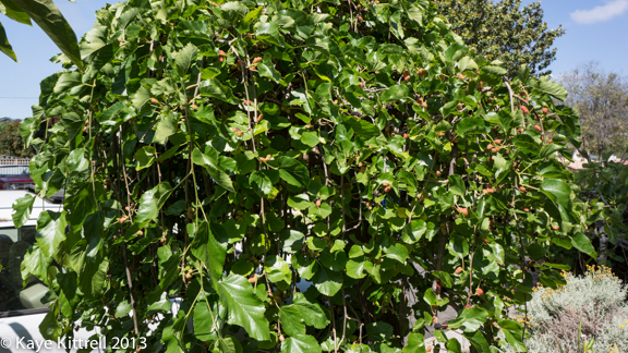 Mature Mulberry Tree, Grow Your Own Food