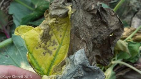 Late Bloomer Lesson #1, shriveled leaves