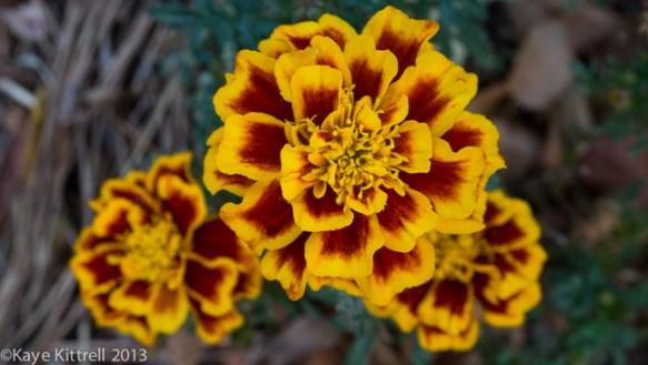 Blushing Blooms-marigolds
