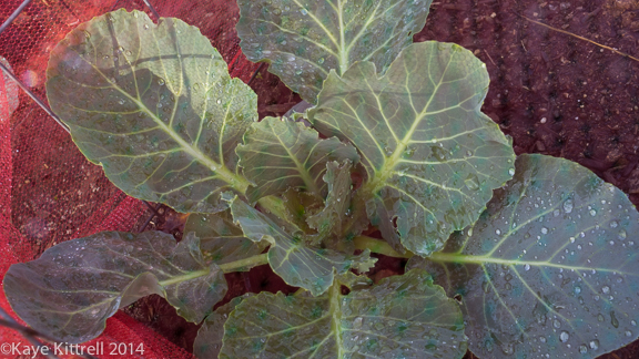 Screening Winter Greens-cabbage