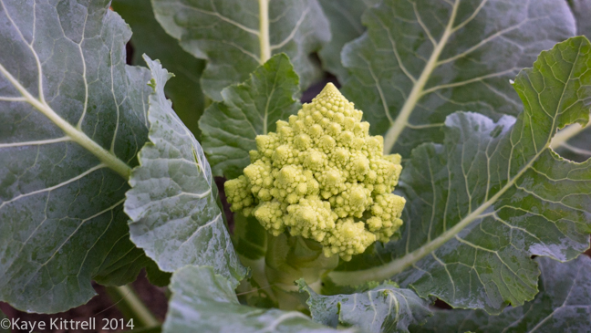 Finding solutions for Pests-cauliflower