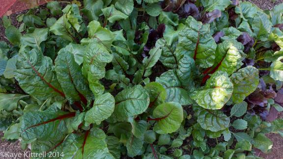 Winter Harvest is Beginning-chard