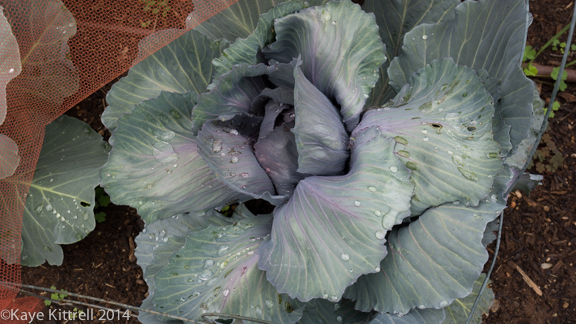 After the rain-cabbage