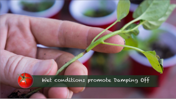 Growing Heirloom Tomatoes Part 1 - damping off
