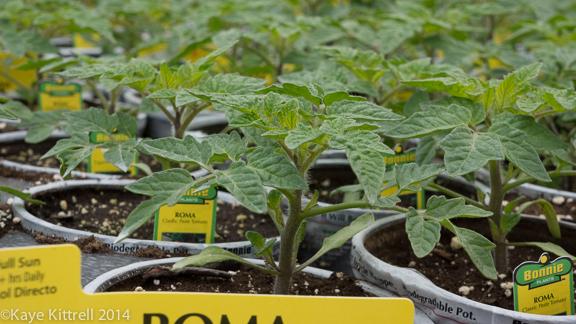 Bonnie is so Bonny: No Neonics - Roma tomato plants
