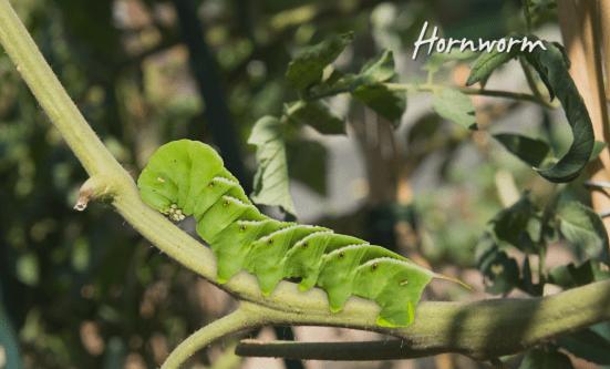 Growing Heirloom Tomatoes Part 2 - hornworm