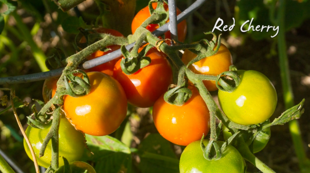 Growing Heirloom Tomatoes Part 3 - Red Cherry tomatoes