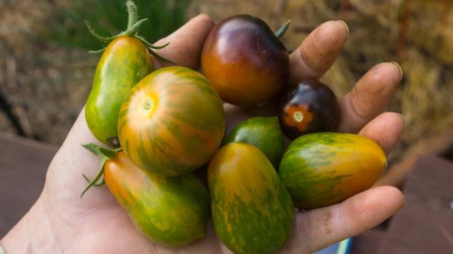 Growing Heirloom Tomatoes Part 3 - handful of heirloom tomatoes