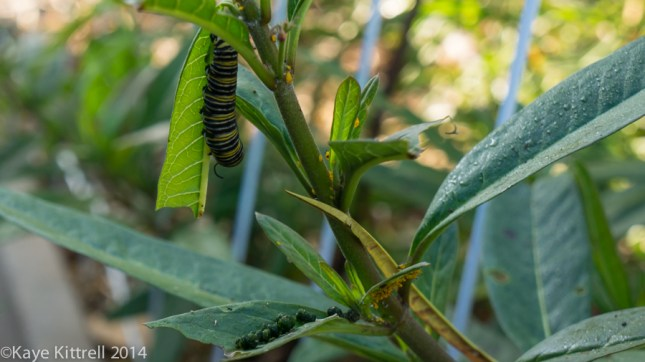 Morning Impressions with Monarchs - frass