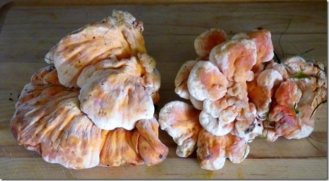 Fungi for Thanksgiving! - chicken mushroom