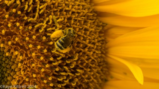 We need all the bees we can get - bee on sunflower