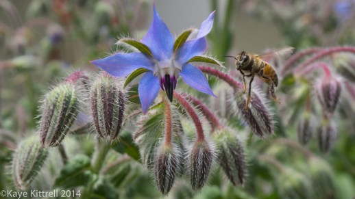 We need all the bees we can get - borage & bee