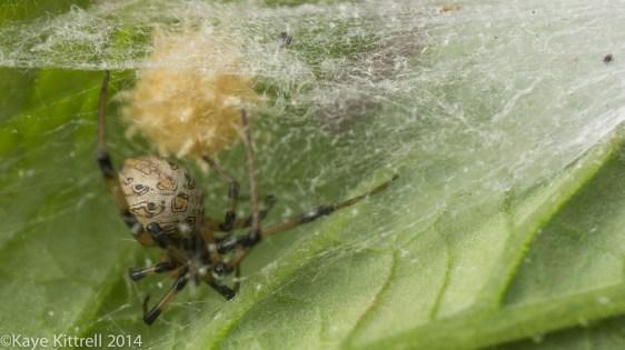 Growing Heirloom Tomatoes Part 4 - brown widow spider