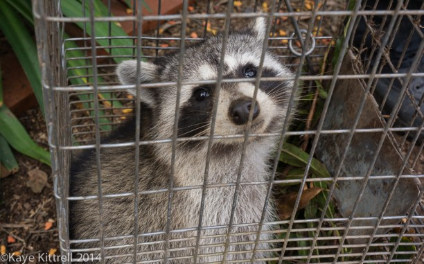 The connection between June bugs & raccoons - raccoon face