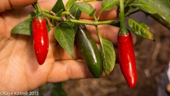 Growing Peppers Part 2 - Serrano pepper