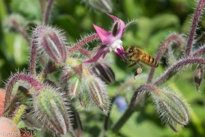Order Borage Seeds