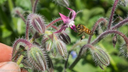 Grow Borage to Attract Bees - Late Bloomer - #62