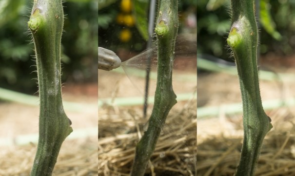 Living with Powdery Mildew - Triptych