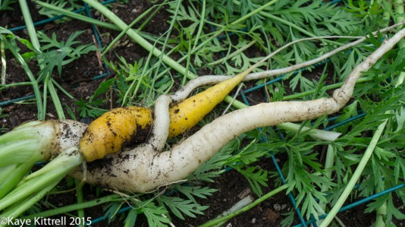 Harvest those carrots! - carrots entwined