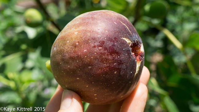 The best way to eat a fig - fig