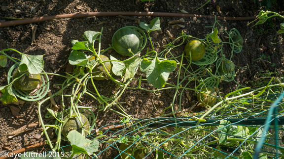 Cutting my losses with melons and beans - remaining vines