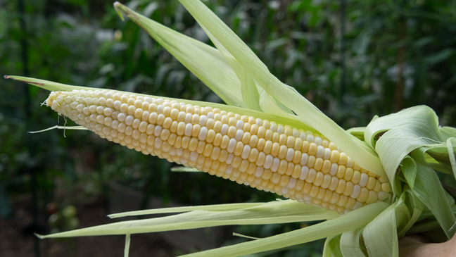 Corn, What's Not to Love? - corn in husk