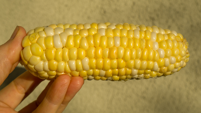 Corn? What's Not to Love? - ripe ear