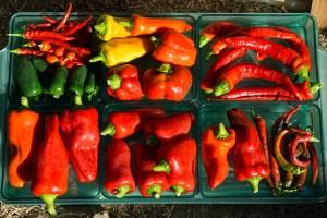 Growing Peppers in Pots